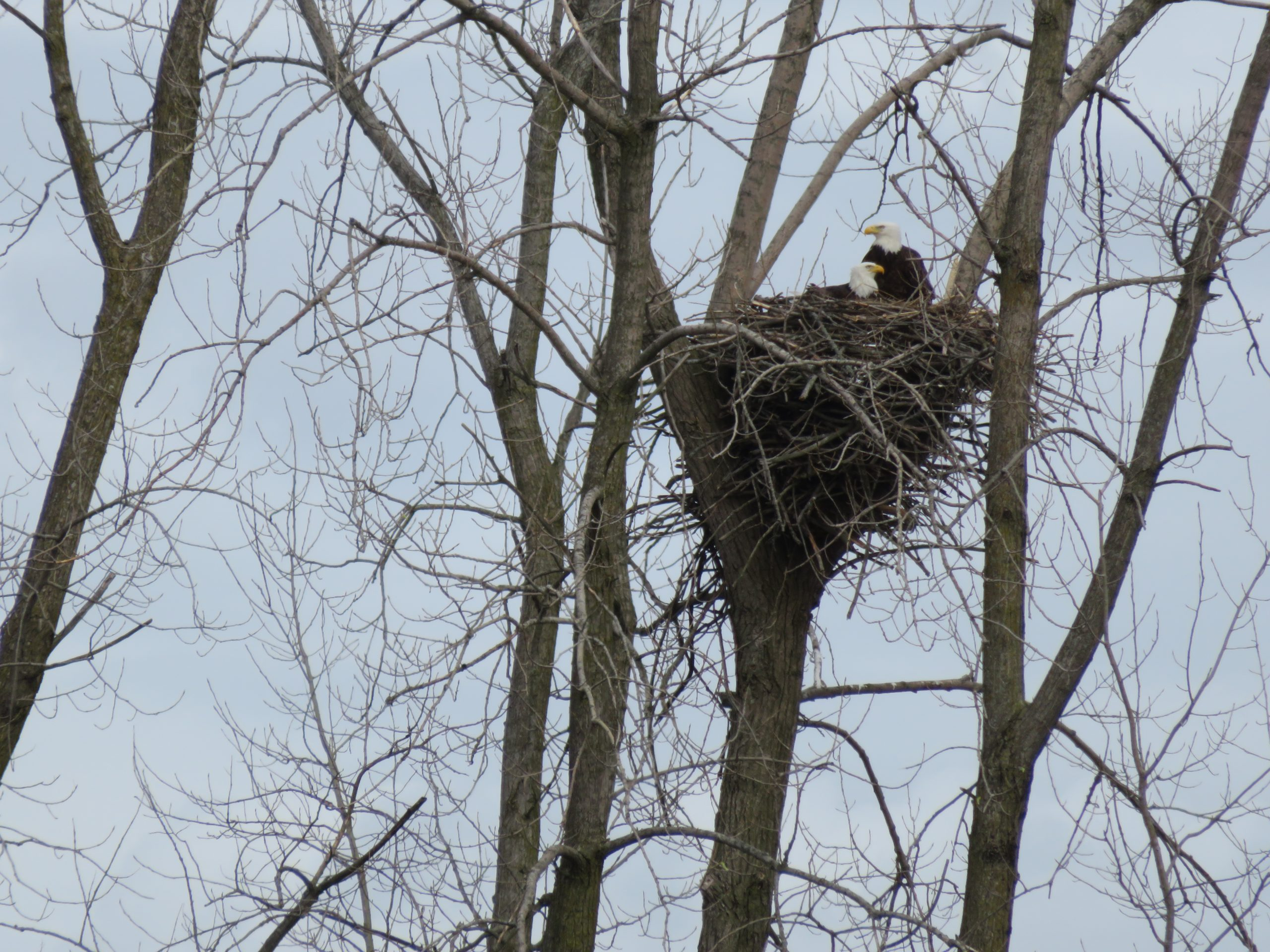 Two bald eagles nesting.