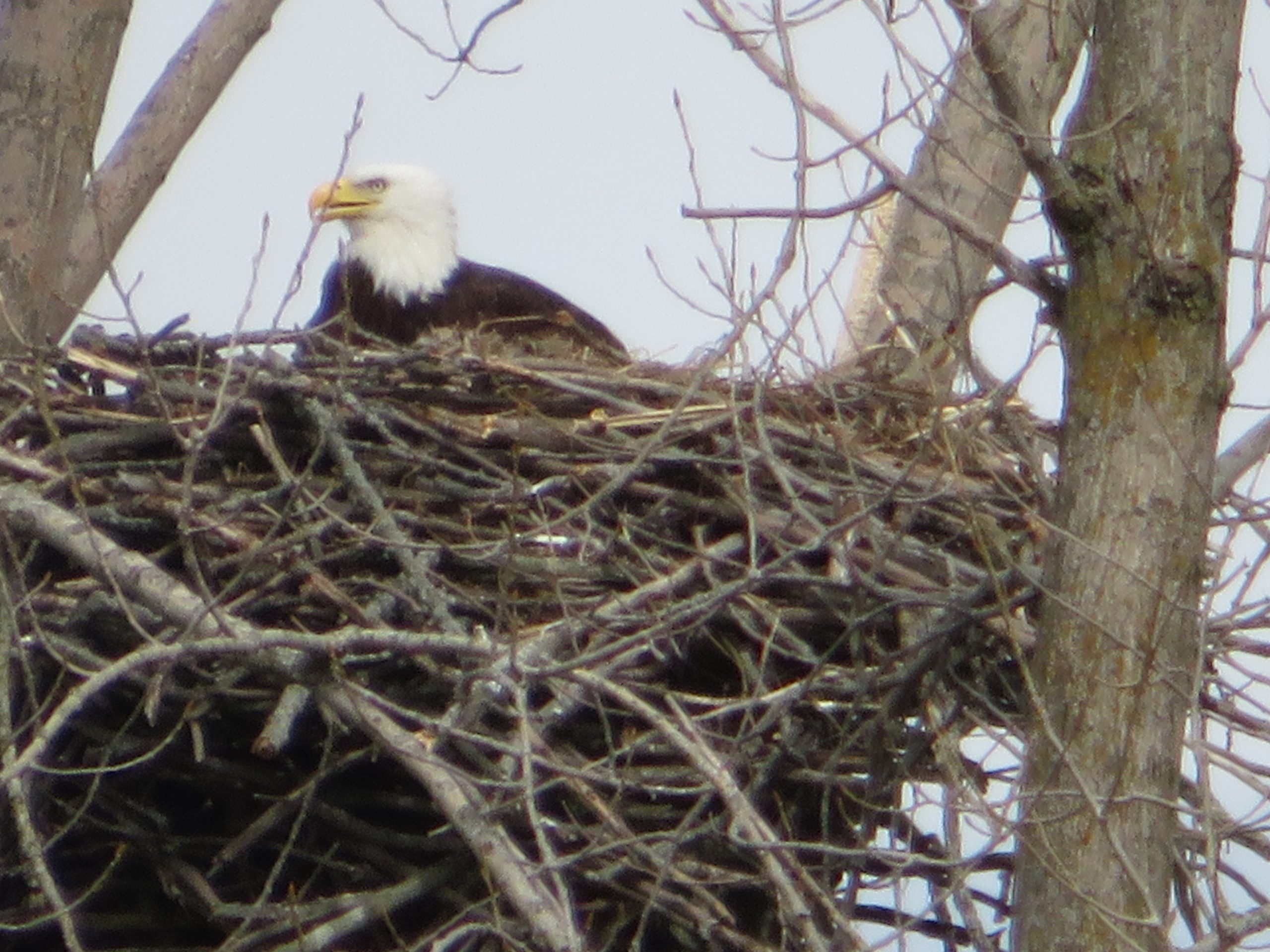 Bald eagle on nest.